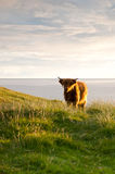 Small galloway cattle Royalty Free Stock Images