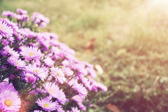Small garden Astra flowers. Royalty Free Stock Photography