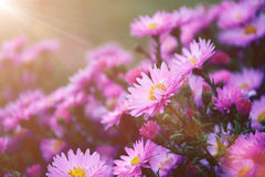 Small garden Astra flowers. Stock Photography