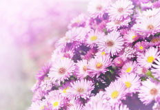 Small garden Astra flowers. Royalty Free Stock Photo