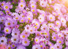 Small garden Astra flowers. Royalty Free Stock Image