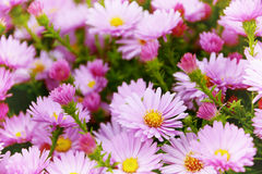 Small garden Astra flowers. Stock Images