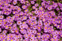Small garden Astra flowers. Group of Alpine asters (Aster Alpinus) royalty free stock photography