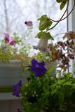 Small garden on the balcony in autumn. Cobaea flower on blurred background of flowering petunias.  royalty free stock images