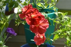Small garden on the balcony with petunia with red flowers.  stock photo