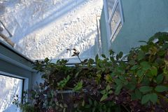 Small garden on the balcony in winter. Green leaves of Cobaea in home and snow outdoor.  stock photo