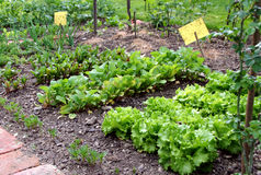 Small garden bed. Small garden vegetable bed and yellow pest control table in the summertime Royalty Free Stock Image