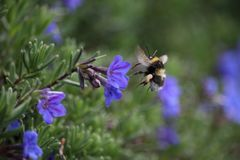 Bombus hortorum in flight showing its long tongue. The small garden bumblebee, Bombus hortorum, leaving a purple flower it has been foraging on. This bee appears Stock Photography