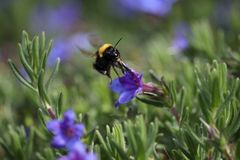 Bombus hortorum in flight showing its long tongue. The small garden bumblebee, Bombus hortorum, leaving a purple flower it has been foraging on Stock Photography