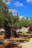 Small garden of Gethsemane Royalty Free Stock Images