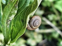 Snail on a green leaf in a garden. A small garden snail crawling on a green leaf outside in a garden royalty free stock images