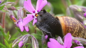 Small garden snail eating whole ping flower bloom