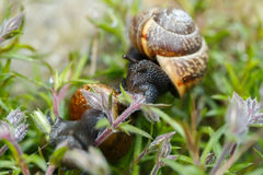 Small garden snail Stock Photography