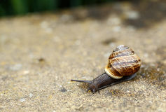 Small garden snail Royalty Free Stock Image