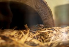 Small garden snake peeking out from a hollow faux stump stock photos