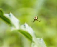 Small garden spider Stock Image