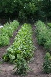 Small garden homegrown vegetable plants Royalty Free Stock Image