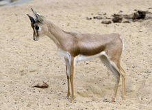 Small gazelle royalty free stock images