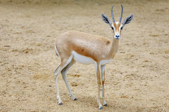 Small gazelle Royalty Free Stock Image
