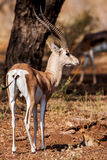 Small gazelle profile taken, in their natural habitat, Africa Stock Photos