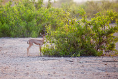 Small gazelle on Sir Bani Yas island, UAE Royalty Free Stock Photo