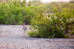 Small gazelle on Sir Bani Yas island, UAE Royalty Free Stock Image