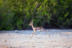 Small gazelle on Sir Bani Yas island, UAE Royalty Free Stock Photography