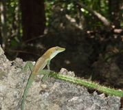 A small gecko Royalty Free Stock Images