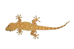 Small gecko lizard. Small gecko reptile lizard isolated against a white background stock photos