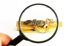 Small Gecko Lizard and Loupe Royalty Free Stock Photos