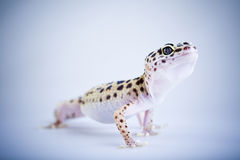 Small gecko reptile lizard Stock Image