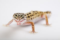 Small gecko reptile lizard. Young Leopard gecko a white background royalty free stock photo