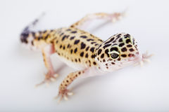 Small gecko reptile lizard. Young Leopard gecko a white background stock photos