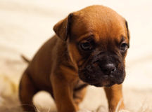 Small and gentle three-week French puppy Royalty Free Stock Images