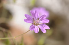 Small geranium blossom Royalty Free Stock Photography