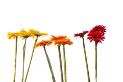 Small gerbera flowers Royalty Free Stock Image