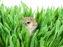 Small gerbil in grass Royalty Free Stock Photography