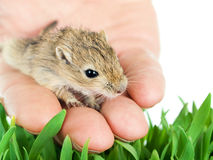 Small gerbil on a hand Royalty Free Stock Photography