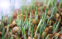 Small germ of wheat Royalty Free Stock Photo