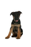 Small German Shepherd puppy with tongue out Stock Photos