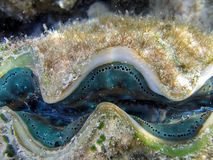 Small giant clam (Tridacna maxima). Colorful blue green small giant clam (Tridacna maxima) on a Great Barrier Reef Royalty Free Stock Image