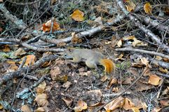 Small ginger squirrel in Mont Tremblant. National Park in fall, Canada Stock Photography