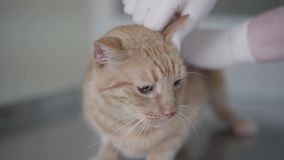 Ginger tabby cat in veterinary clinic having a check up of ears by veterinarian specialist in medical disposable gloves. Small ginger tabby cat in veterinary stock video