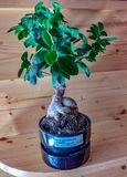 Small ginseng bonsai. now in Europe there are many shops that sell it. bonsai as an ornamental plant does its job.  stock image