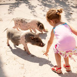 Small girl feeds little pigs Stock Photo