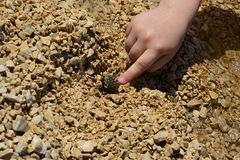 Small girl hand pushing gastropod seashell with hermit crab Paguroidea on stony beach in Croatia, Adriatic Royalty Free Stock Images