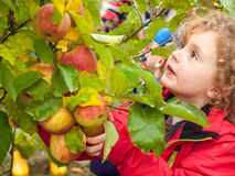 Small girl picking apples Stock Photos