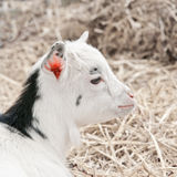 Small goat 2 Royalty Free Stock Photos
