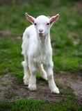 The small goat. Costs on a grass Stock Image