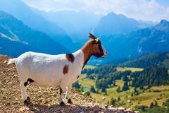 Small goat Royalty Free Stock Images